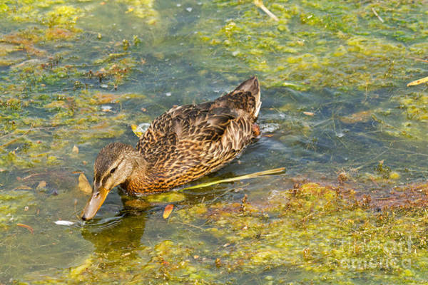 Photograph - Mallard Ducks In Lily Lake by Fred Stearns