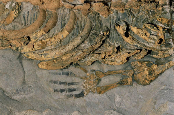 Wall Art - Photograph - Mesosaurus Fossil by Sinclair Stammers/science Photo Library