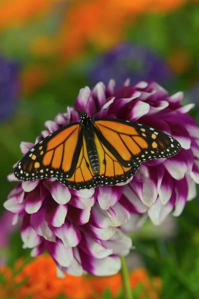 Wall Art - Photograph - Monarch Butterfly, Danaus Plexippus by Darrell Gulin