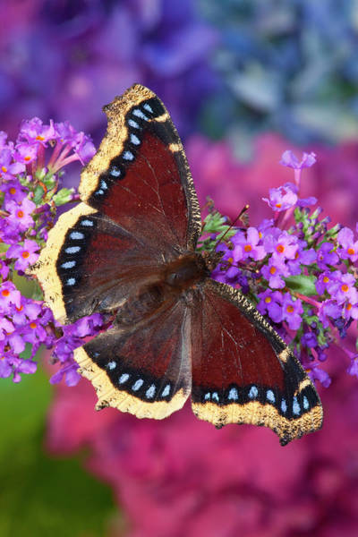 Butterfly Bush Wall Art - Photograph - Mourning Cloak Butterfly, Nymphalis by Darrell Gulin