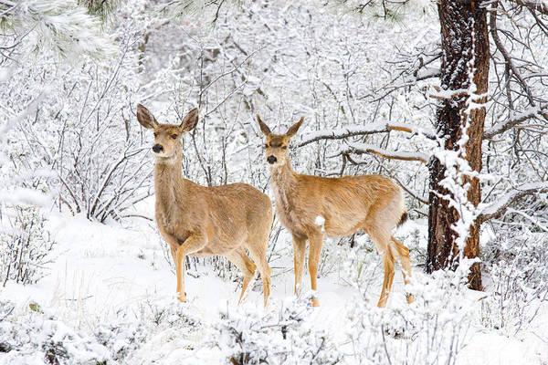 Photograph - Mule Deer In Snow by Steve Krull