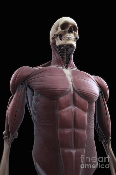 External Abdominal Oblique Photograph - Muscles Of The Upper Body by Science Picture Co