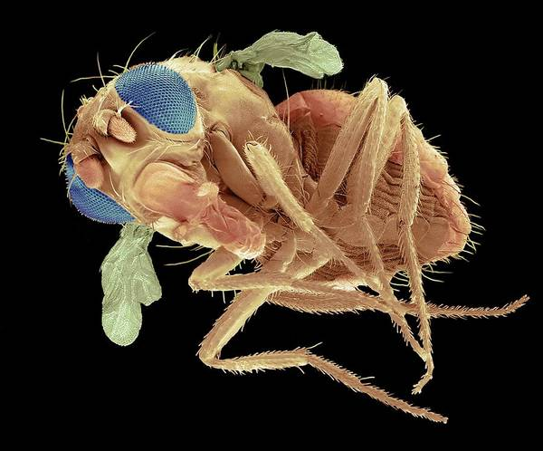 Wall Art - Photograph - Mutant Fruit Fly by Steve Gschmeissner/science Photo Library