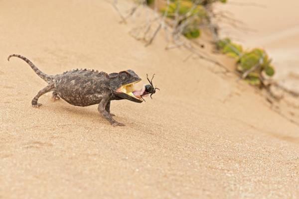 Behaviour Photograph - Namaqua Chameleon Catching Prey by Tony Camacho