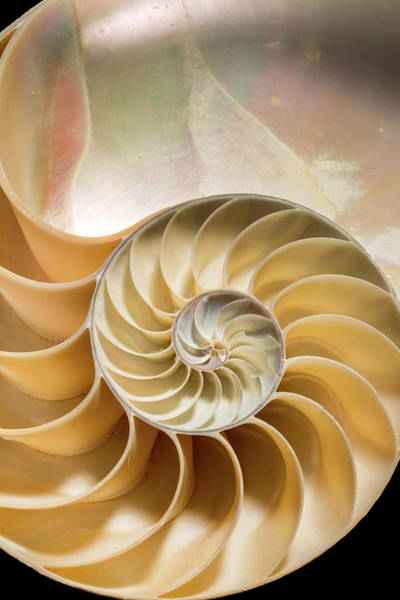 Mother Of Pearl Photograph - Nautilus Pompilius by Natural History Museum, London