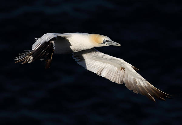 Photograph - Northern Gannet by Grant Glendinning