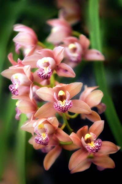 Cymbidium Photograph - Orchid (cymbidium Hybrid) by Maria Mosolova/science Photo Library