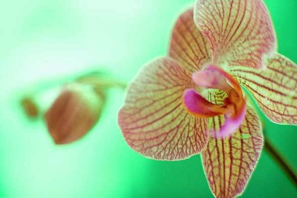 Horticulture Photograph - Orchid Flower by Ian Hooton/science Photo Library