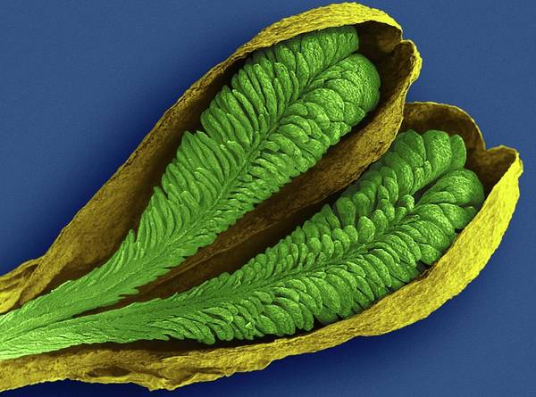 Wall Art - Photograph - Orchid Pollinia (ludisia Discolor) by Dennis Kunkel Microscopy/science Photo Library