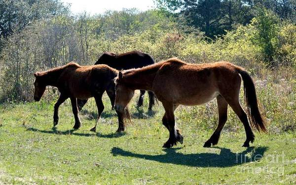 Corolla Photograph - Outer Banks Wild Horses by Mike Baltzgar