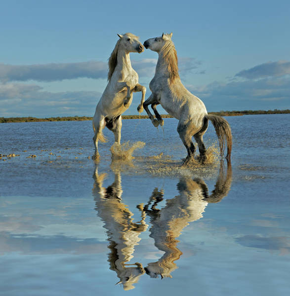 Rhone River Photograph - Pair Of Camargue Horse Stallions by Adam Jones