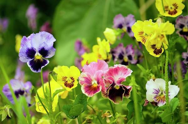 Wall Art - Photograph - Pansy (viola X Wittrockiana) by Maria Mosolova/science Photo Library