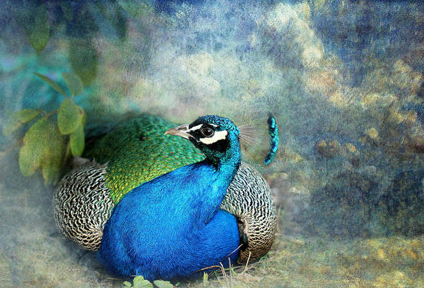 Glorious Wall Art - Photograph - Peacock by Heike Hultsch