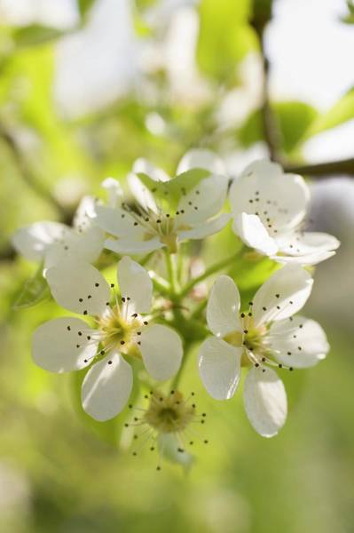 Wall Art - Photograph - Pear Blossom On Branch by Foodcollection