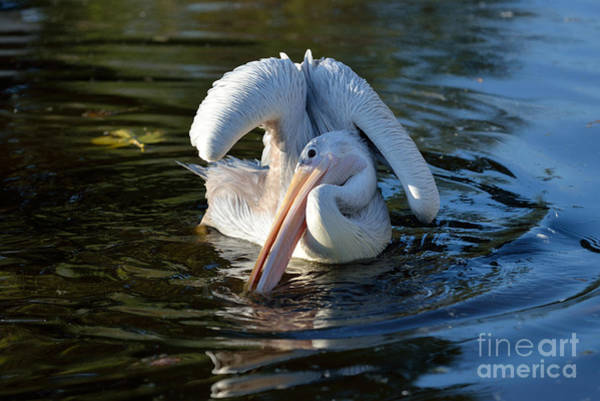 Wing Back Photograph - Pink Backed Pelican by George Atsametakis