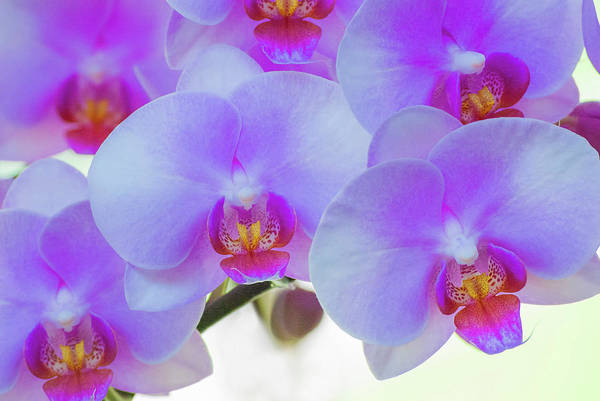 Wall Art - Photograph - Pink Orchid Blooms by Anna Miller