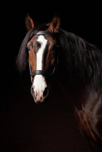 Wall Art - Photograph - Portrait Of A Lusitano Stallion by Jak Wonderly