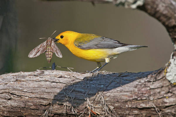 Caddo Lake Wall Art - Photograph - Prothonotary Warbler (prothonoteria by Larry Ditto