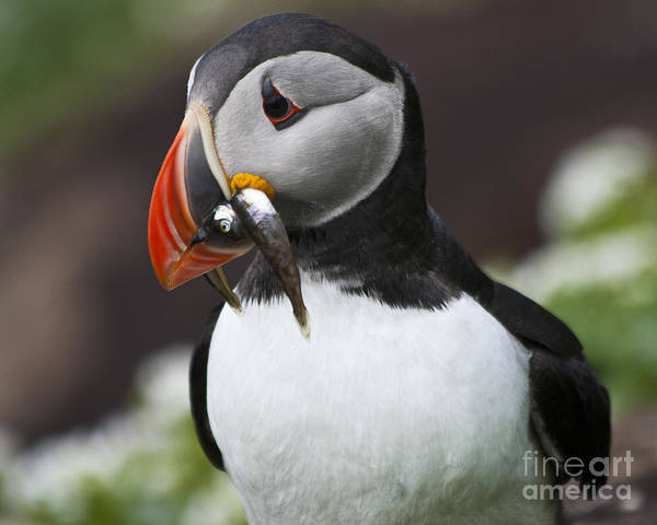 Photograph - Puffin With Fish by Heiko Koehrer-Wagner