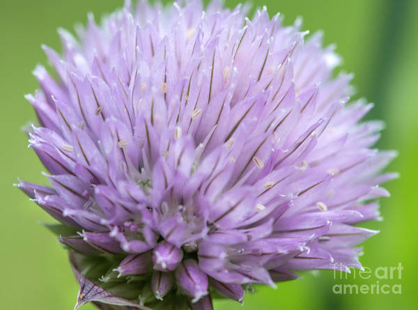 Chive Photograph - Purple Chive Flower by Iris Richardson