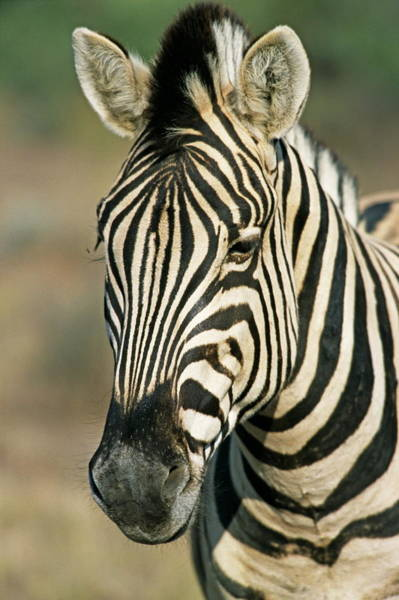 Wall Art - Photograph - Quagga-like Zebra by Philippe Psaila/science Photo Library