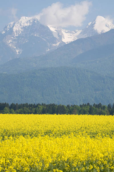 Wall Art - Photograph - rapeseed field in Brnik with Kamnik Alps in the background by Ian Middleton