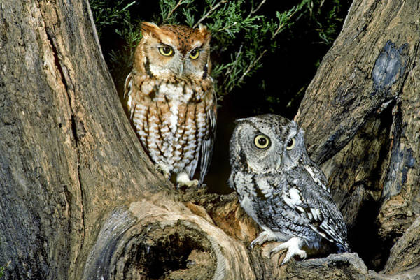 Wall Art - Photograph - Red And Gray Screech Owls by G Ronald Austing
