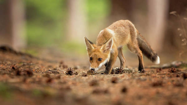 Cone Wall Art - Photograph - Red Fox by Milan Zygmunt