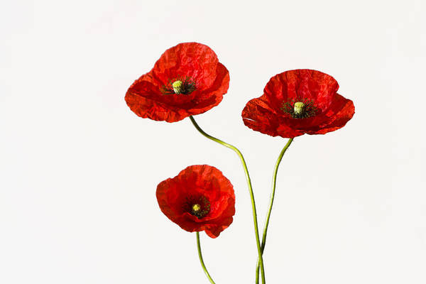 Photograph - Red Poppies by Maria Heyens