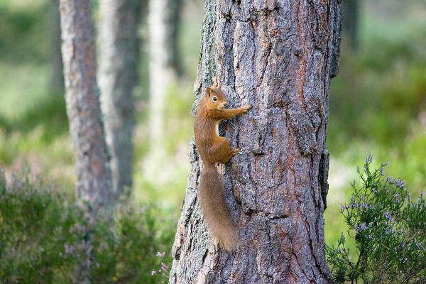 Wall Art - Photograph - Red Squirrel (sciurus Vulgaris) by John Devries/science Photo Library