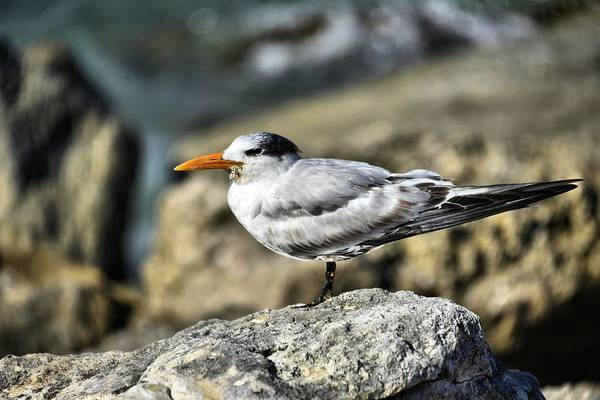 Photograph - Royal Tern by Bill Hosford