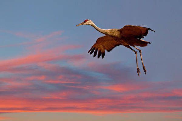 National Wildlife Refuge Wall Art - Photograph - Sandhill Crane (grus Canadensis by Larry Ditto