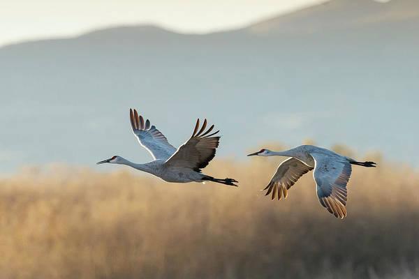 Behavior Photograph - Sandhill Cranes Flying, Grus by Maresa Pryor
