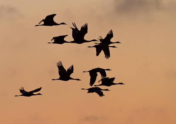 Sandhill Cranes Photograph - Sandhill Cranes (grus Canadensis by William Sutton