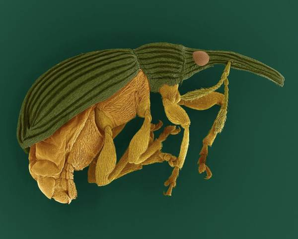 Wall Art - Photograph - Seed Feeding Weevil by Dennis Kunkel Microscopy/science Photo Library
