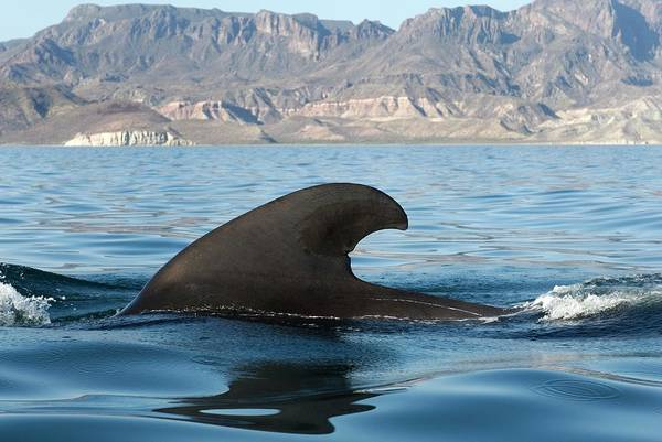 Wall Art - Photograph - Short-finned Pilot Whale by Christopher Swann/science Photo Library