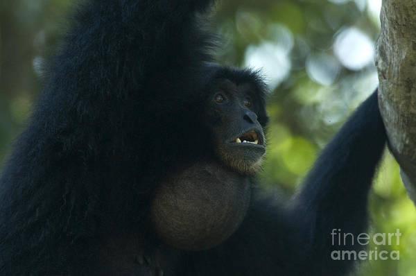 Gular Photograph - Siamang by Mark Newman