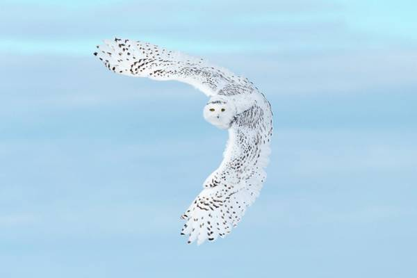 Owl In Flight Photograph - Snowy Owl by Dr P. Marazzi/science Photo Library