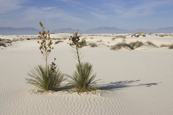 Yucca Elata Wall Art - Photograph - Soaptree Yucca In Gypsum Sand White by Konrad Wothe