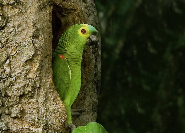 Parakeets Photograph - South America, Brazil, Pantanal by Jaynes Gallery