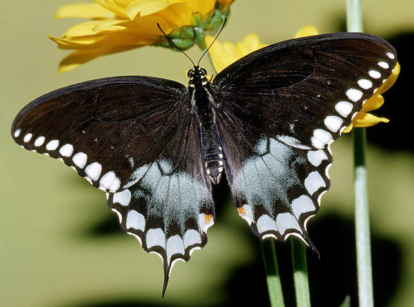 Duval County Photograph - Spicebush Swallowtail Butterfly by Millard H. Sharp