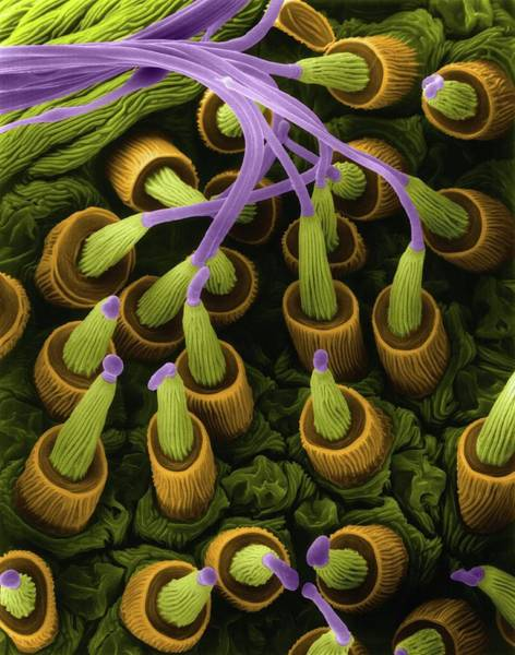 Orb Weaver Photograph - Spider Silk Gland Spigots (gasteracantha Sp.) by Dennis Kunkel Microscopy/science Photo Library