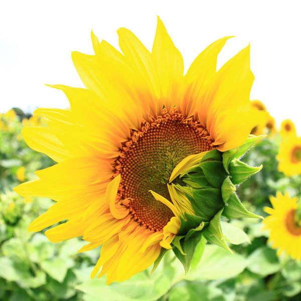 Wall Art - Photograph - Sunflower by Falko Follert