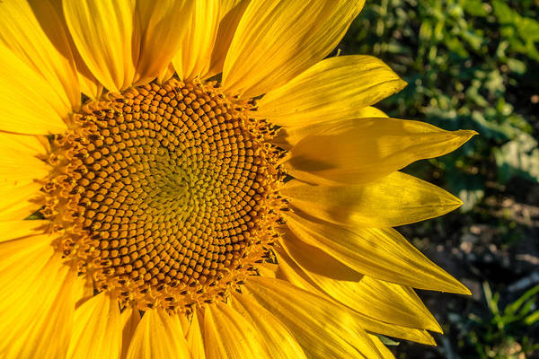 Photograph - Fibonacci Florets by Melinda Ledsome