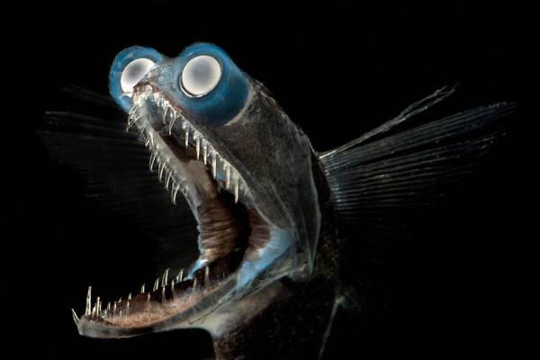 Photograph - Telescopefish Gigantura Sp by Dante Fenolio