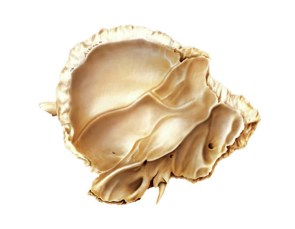 Temporal Bone Wall Art - Photograph - Temporal Bone by Asklepios Medical Atlas
