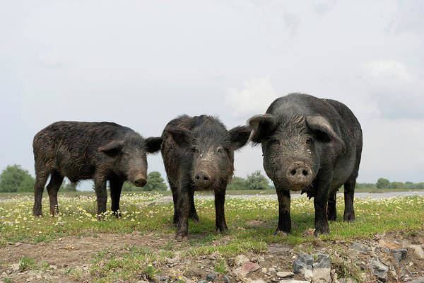 Antic Photograph - The Domestic Pigs Of Maliuc Often Roam by Martin Zwick