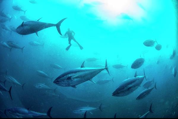Ichthyology Wall Art - Photograph - Tuna Farming by Louise Murray/science Photo Library