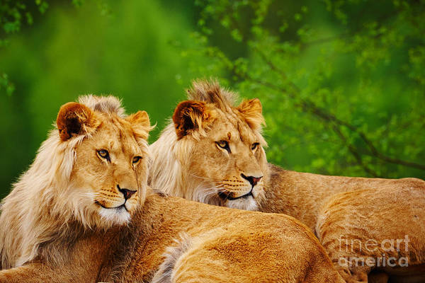 Photograph - Two Lions Close Together  by Nick  Biemans