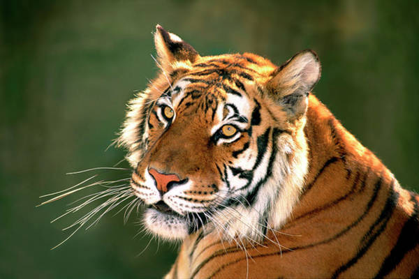 Bengals Photograph - Usa, California, Los Angeles County by Jaynes Gallery